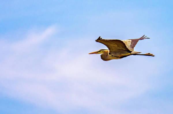 Sauble Beach Photograph - Great Blue Heron by Steve Harrington