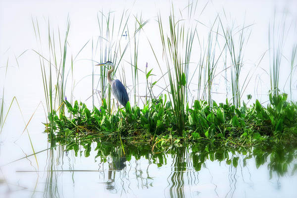 Photograph - Great Blue On Green Island by Ghostwinds Photography