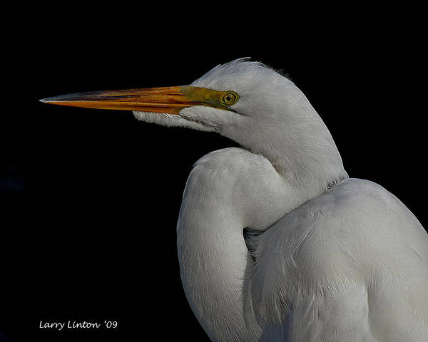 Photograph - Great Egret by Larry Linton