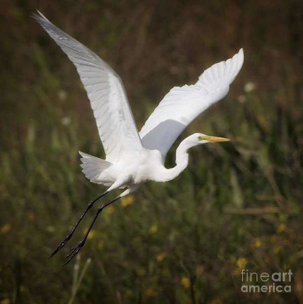 Photograph - Great Egret by Patrick M Lynch