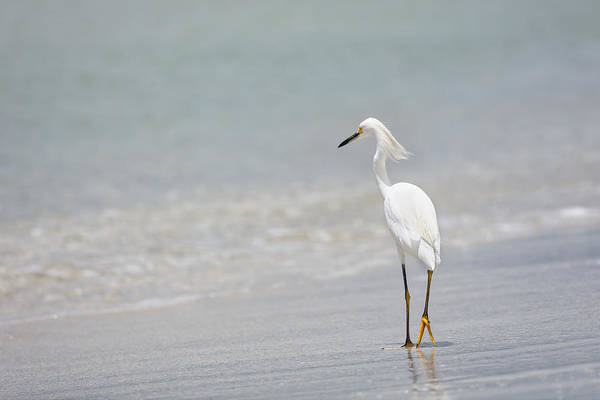 Photograph - Great Egret by Peter Lakomy