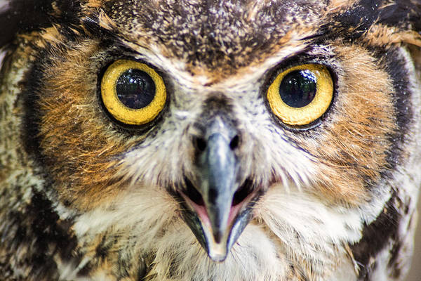 Photograph - Great Horned Owl by Don Johnson
