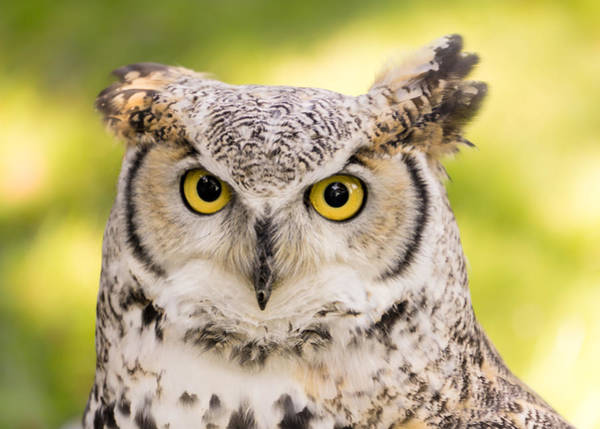 Ornithologist Wall Art - Photograph - Great Horned Owl by Jim Hughes