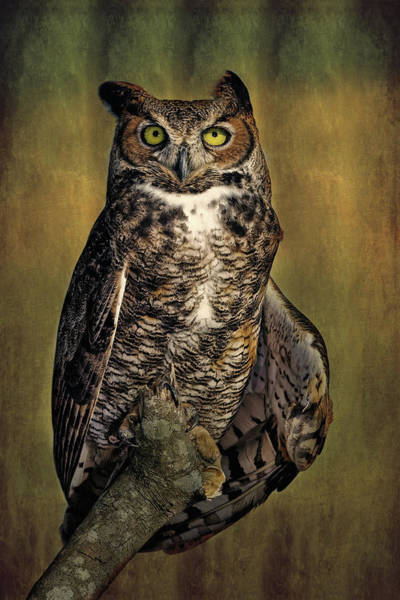 Photograph - Great Horned Owl Portrait by Dawn Currie