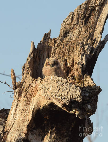 Photograph - Great Horned Owlet by Charles Owens