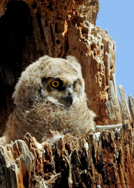 Wall Art - Photograph - Great Horned Owlet by Dawn Key