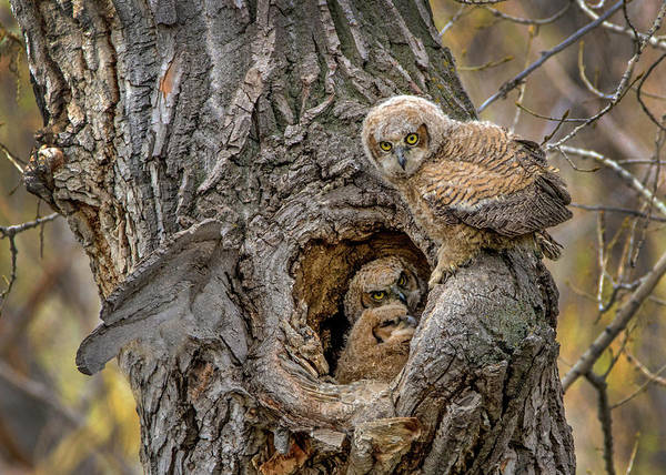 Photograph - Great Horned Owlets In A Nest by Dawn Key