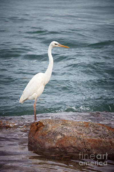 Great Blue Heron Wall Art - Photograph - Great White Heron by Elena Elisseeva