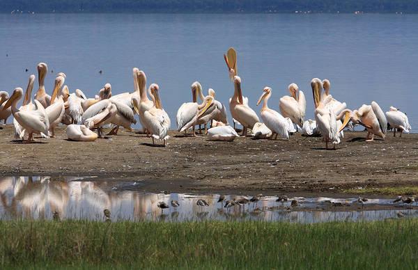 Photograph - Great White Pelicans, Lake Nakuru, Kenya by Aidan Moran