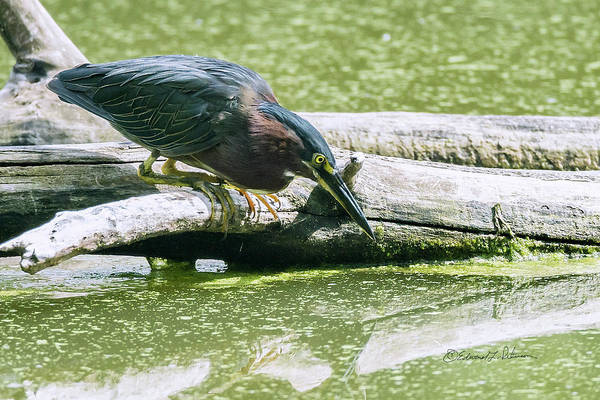 Photograph - Green Heron Hunt by Edward Peterson