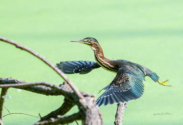 Photograph - Green Heron In Flight by Edward Peterson