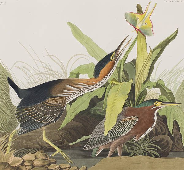 Audubon Painting - Green Heron by John James Audubon
