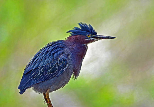 Photograph - Green Heron by Rodney Campbell