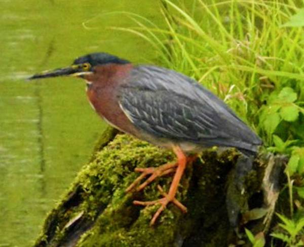 Photograph - Green Heron by Sumoflam Photography