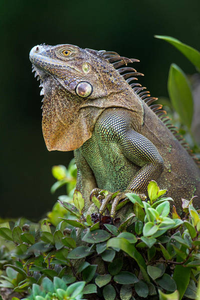 Green Iguana Wall Art - Photograph - Green Iguana Iguana Iguana, Sarapiqui by Panoramic Images