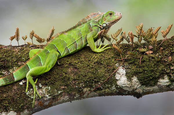 Green Iguana Wall Art - Photograph - Green Iguana Iguana Iguana, Tarcoles by Panoramic Images