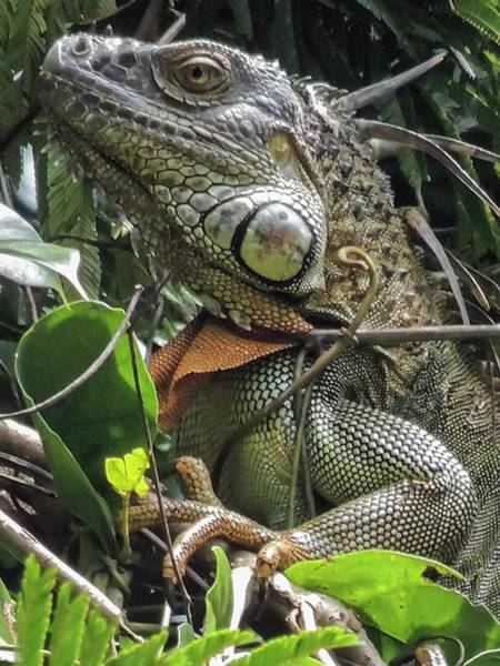 Photograph - Green Iguana  by NaturesPix