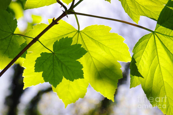 Natural Light Photograph - Green Leaves by Carlos Caetano