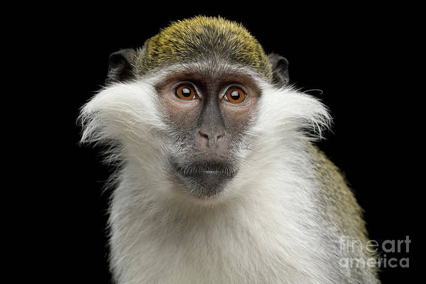 Photograph - Green Monkey by Sergey Taran