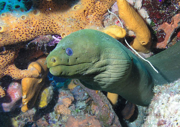 Eels Photograph - Green Moray Eel On Caribbean Reef by Karen Doody