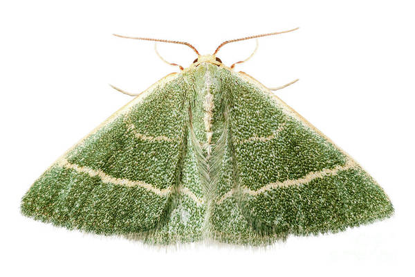 Antenna Painting - Green Moth Chlorissa Etruscaria by Pablo Romero