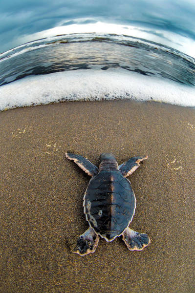 Fish Eye Lens Photograph - Green Sea Turtle Chelonia Mydas by Panoramic Images