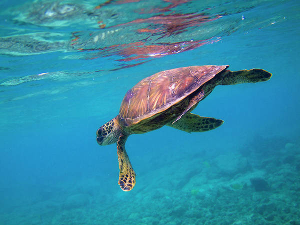 Honu Wall Art - Photograph - Green Sea Turtle by Christopher Johnson