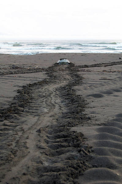 Green Sea Turtle Returning To Sea Art Print