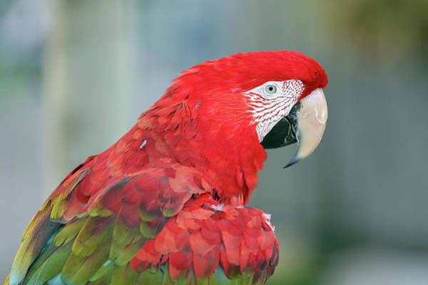 Wall Art - Photograph - Green-winged Macaw by Paul Fell