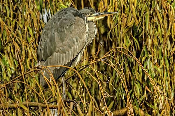 Photograph - Grey Heron by Cliff Norton