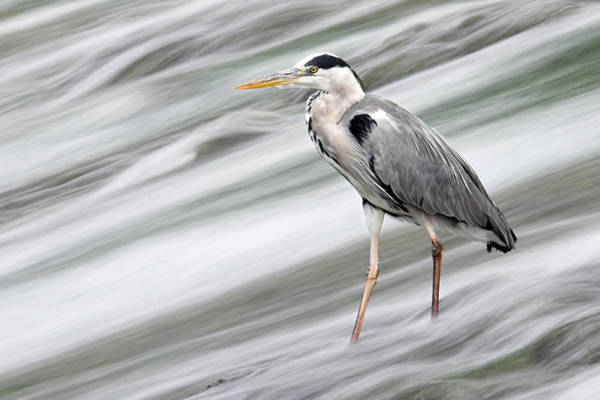 Photograph - Grey Heron Fishing In Annacotty Waterfall Ireland  by Pierre Leclerc Photography
