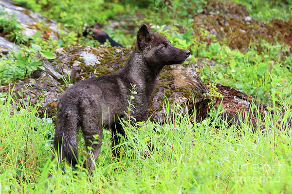 Timber Wolves Photograph - Grey Wolf Pup Canis Lupus by Louise Heusinkveld