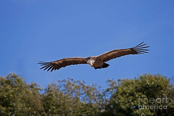 Accipitridae Wall Art - Photograph - Griffon Vulture Gyps Fulvus by Gerard Lacz