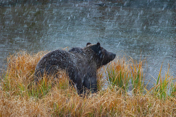 Photograph - Grizzly In Falling Snow by Mark Miller