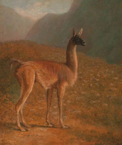 Painting - Guanaco by Jacques-Laurent Agasse