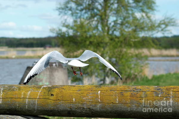 Chroicocephalus Ridibundus Photograph - Gull by Esko Lindell