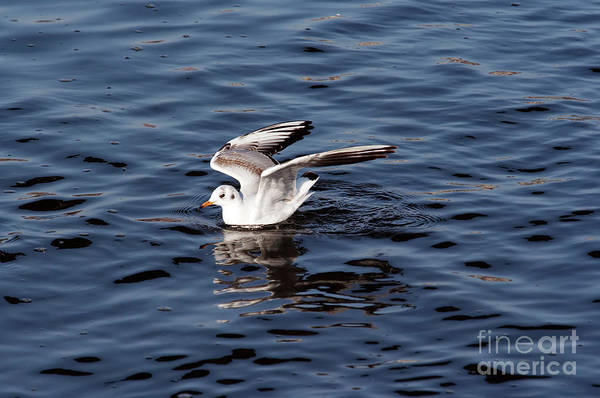Wall Art - Photograph - Gull On The Water by Michal Boubin
