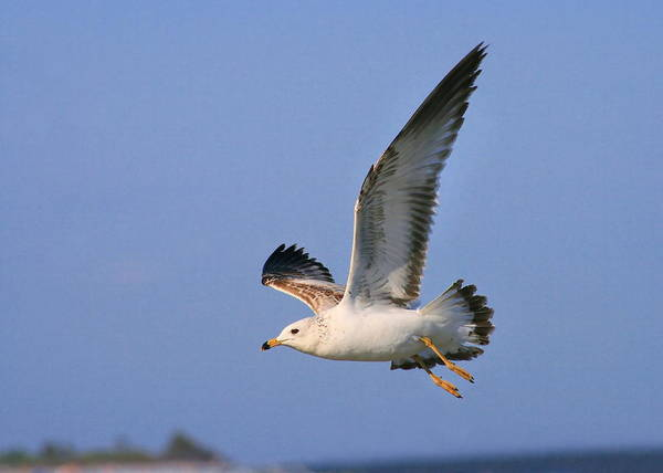 Photograph - Gull Soaring by Angela Rath