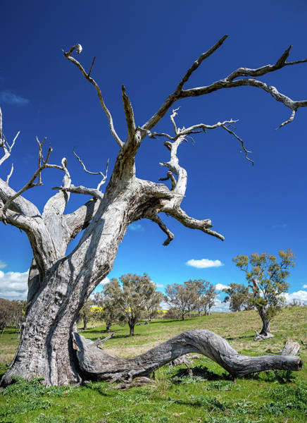 Photograph - Gum Trees by Max Neivandt