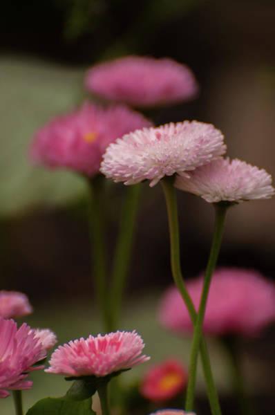 Photograph - Habanera English Daisy by Brenda Jacobs