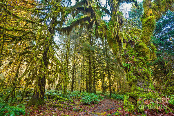 Wall Art - Photograph - Hall Of Mosses In The Hoh Rainforest. by Jamie Pham