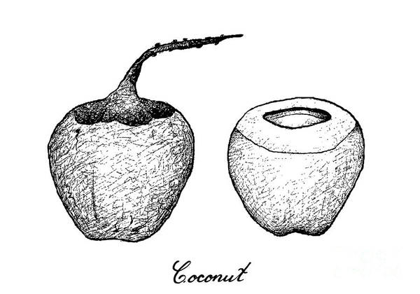 Coco Drawing - Hand Drawn Of Coconut Fruits On White Background by Iam Nee