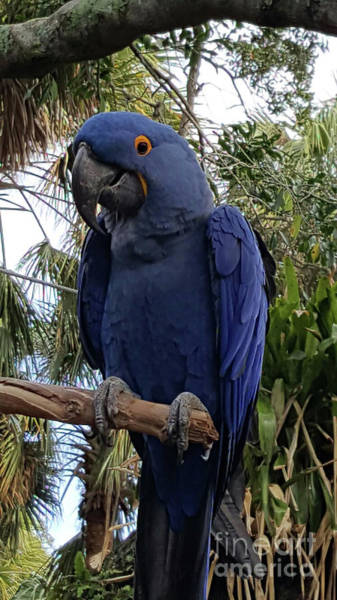Photograph - Handsome Blue Macaw by Roberta Byram