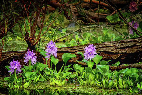 Photograph - Happy Swamp by Susan Callaway