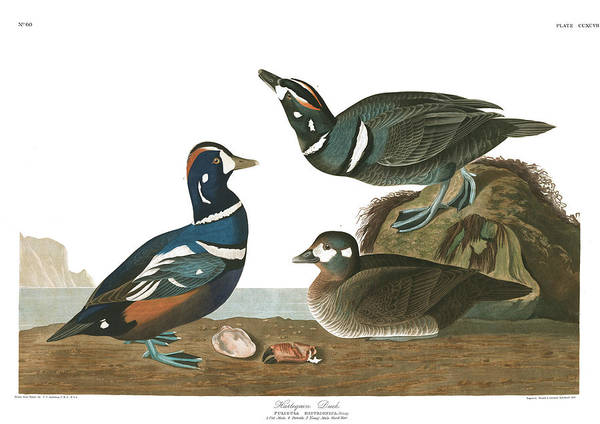 Wall Art - Painting - Harlequin Duck by John James Audubon