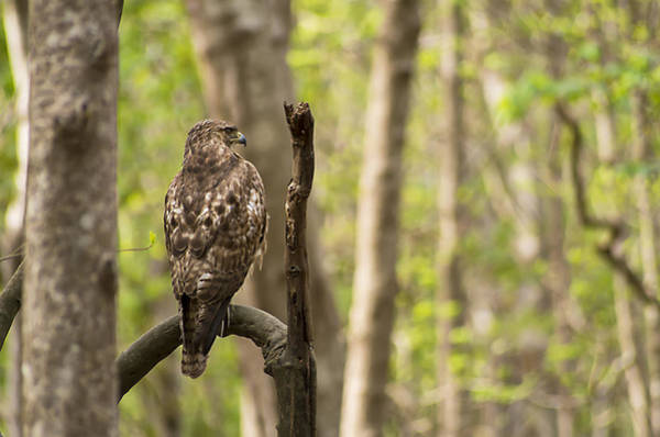 Photograph - Hawk Hunting In The Woods by Willard Killough III
