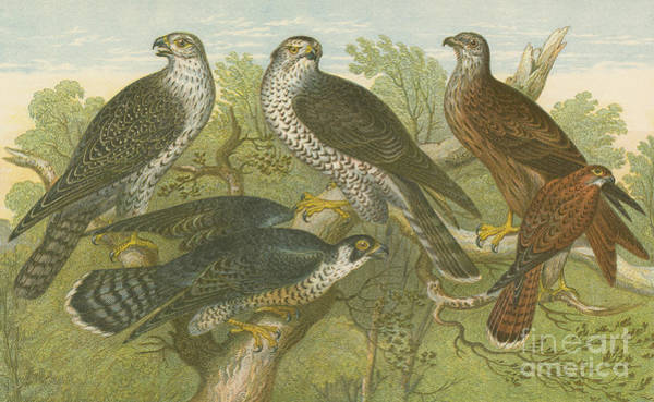 Wall Art - Drawing - Hawks And Falcons by English School