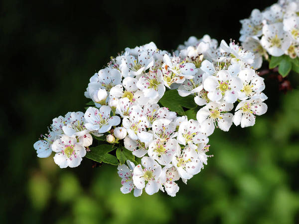 Photograph - Hawthorn Blossom by Nick Bywater