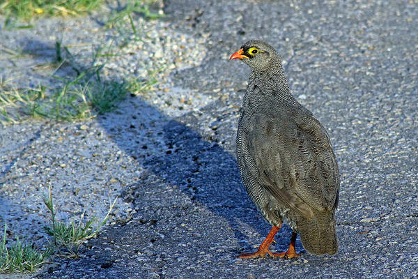 Photograph - Red-billed Spurfowl by Tony Murtagh