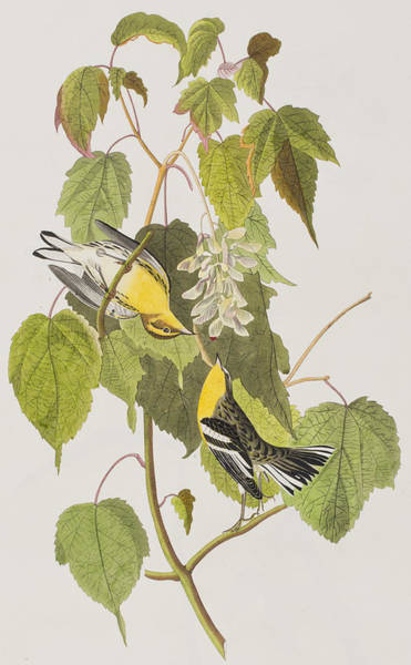 Lovebird Painting - Hemlock Warbler by John James Audubon